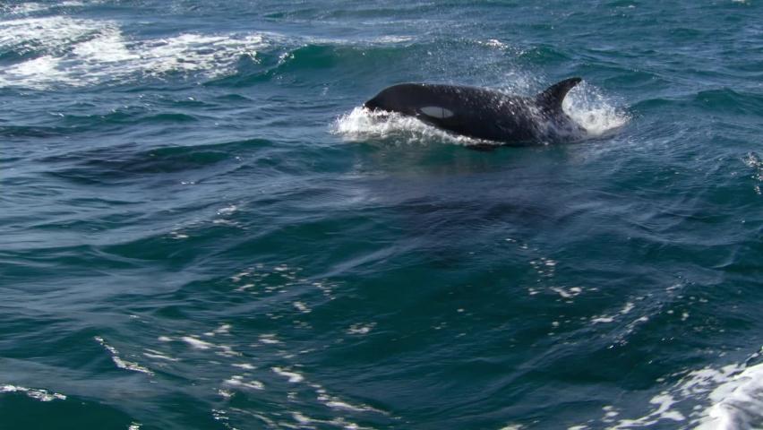 Killer whale (Orcinus orca). The water area near the Kamchatka Peninsula, Avacha Bay. | Shutterstock HD Video #1059724325