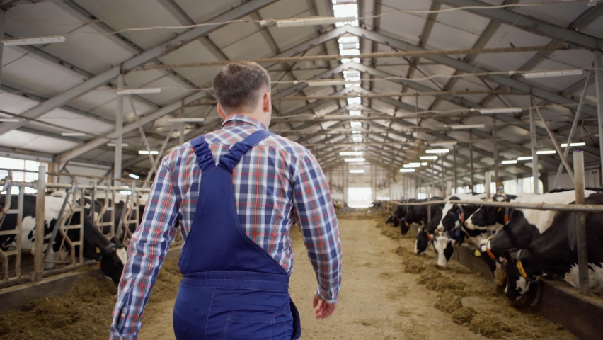 Back view follow shot of farm worker in uniform walking down aisle in cowshed and standing with hands on hips to check stalls with dairy cows eating hay in stalls
