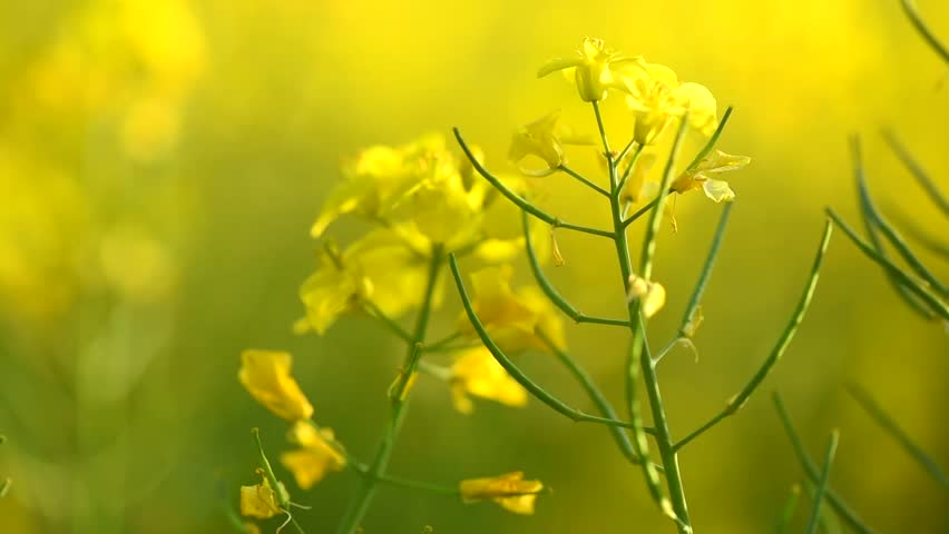 Blooming canola field. Rape on the field in summer closeup. Bright Yellow rapeseed oil. Flowering rapeseed. Full HD video footage 1080p  #10597334