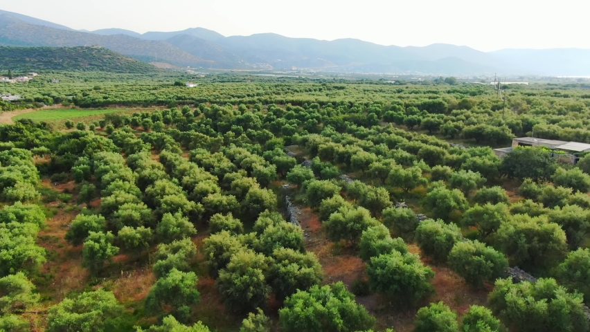 fly over olive (Olea europaea) grove in Crete. Trees and mountain setting Royalty-Free Stock Footage #1059783581