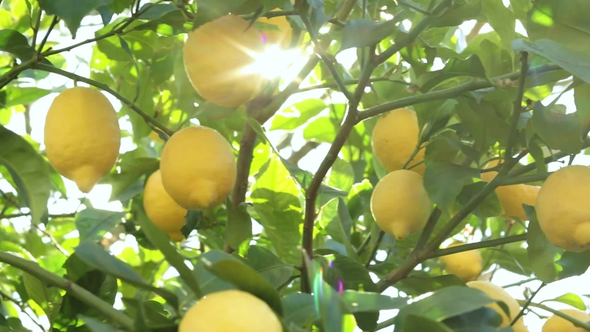 Take a detail of lemon tree with ripe yellow lemons at sunset with sun Royalty-Free Stock Footage #1059810377