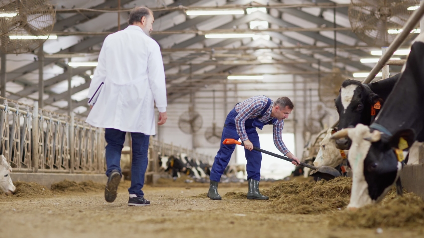 Farm worker with spade walking towards livestock stalls and arranging hay for dairy cows. Vet in white coat passing by him and examining cows in background