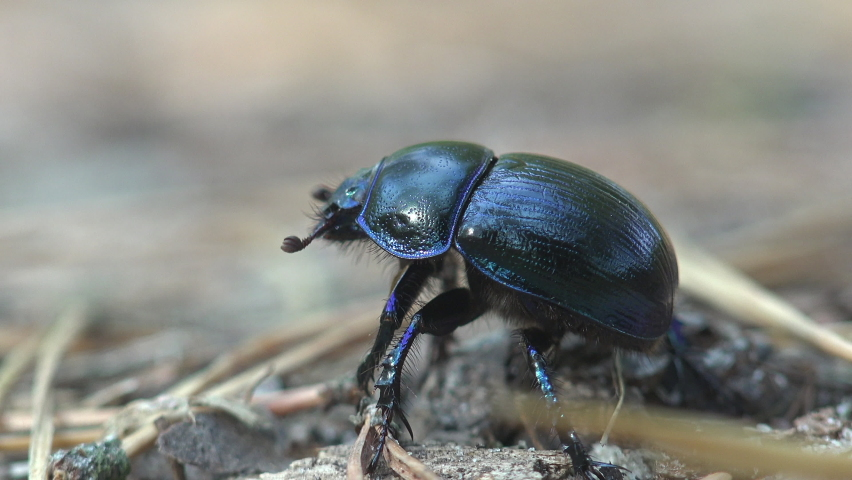 Black beetle with black chitinous wings runs away from the camera along the ground | Shutterstock HD Video #1059870875