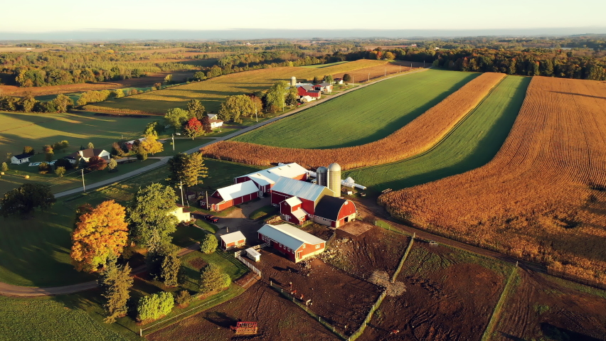 Establishing shot of Midwestern Countryside in the Fall season, view from above. Farm at Harvesting time, ripe corn field, herd cows grazing. Autumn Rural landscape. Sunny morning, golden hour