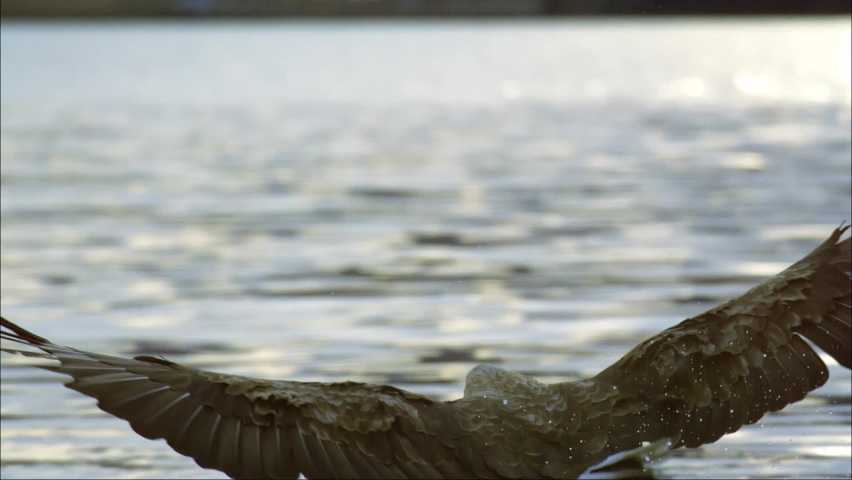 Osprey. The diet consists entirely of fish. When the victim is detected, the bird quickly descends, sticks out its legs forward, pulls its wings back and sinks into the water with its legs forward. | Shutterstock HD Video #1059891848