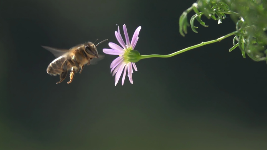 Bee Hits Little Pink Flower, Nature at Slow-motion. Royalty-Free Stock Footage #1059924479