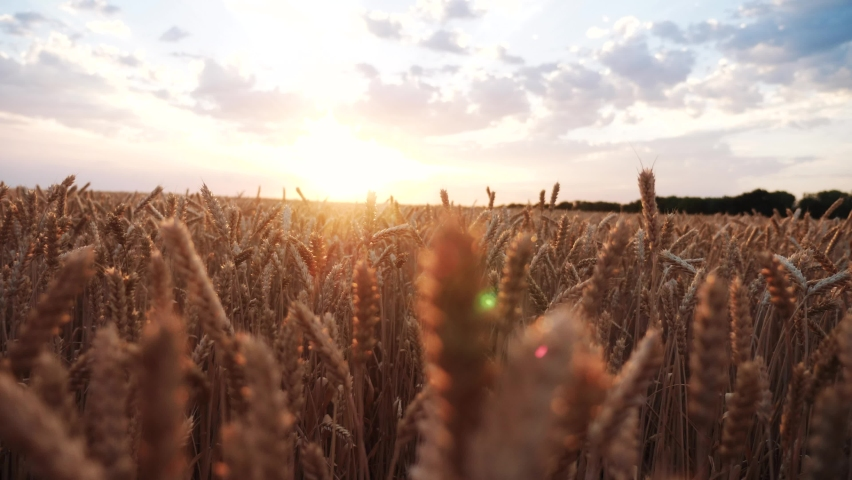 ears of wheat on the field a during sunset. wheat agriculture harvesting agribusiness concept. walk in large wheat field. large harvest of wheat in summer on the field landscape lifestyle Royalty-Free Stock Footage #1059929606