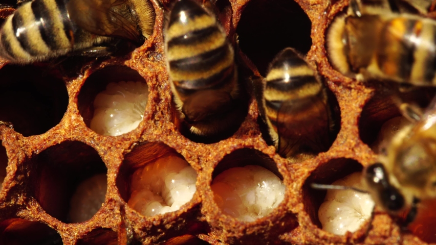 Honey bee larvae hatch from eggs macro. Honey Bee Brood care. The Birth of a Bee, Life Cycle. A honey bee colony, a honeycomb close up, beehive, beekeeping Royalty-Free Stock Footage #1059969371