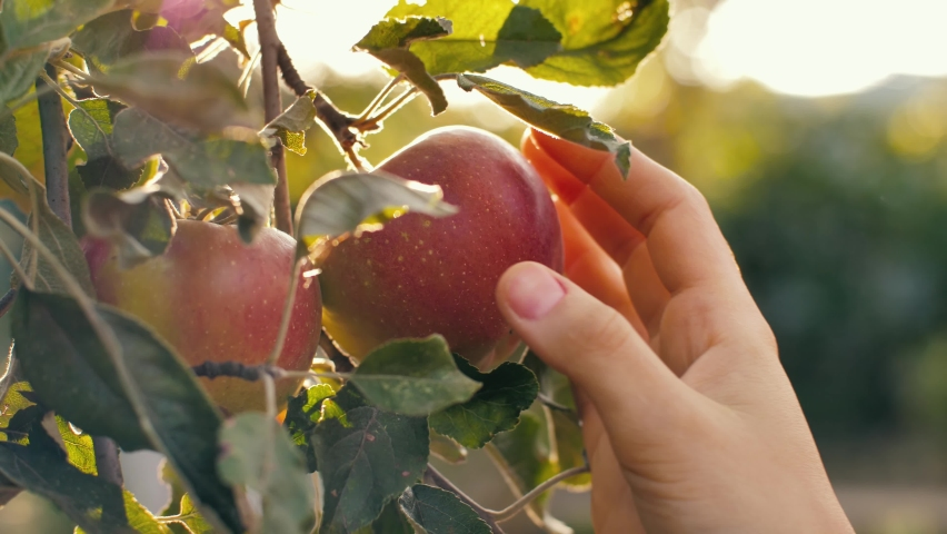 Woman picking red apple at the garden
