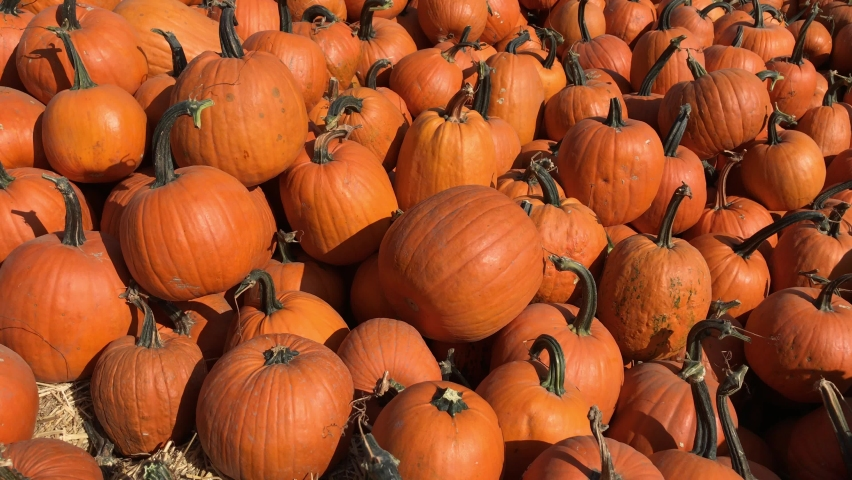 Large Piles Scattering of Orange Pumpkins and Gourds at a Pumpkin Patch for Halloween or Thanksgiving. Large pumpkin harvest. Fairs, festivals, selling beautiful large pumpkins. | Shutterstock HD Video #1060025651