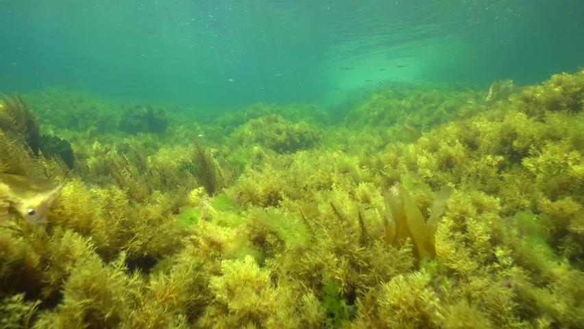 Shallow ocean floor covered by algae seaweeds underwater in the Atlantic ocean, Spain, Galicia, Pontevedra