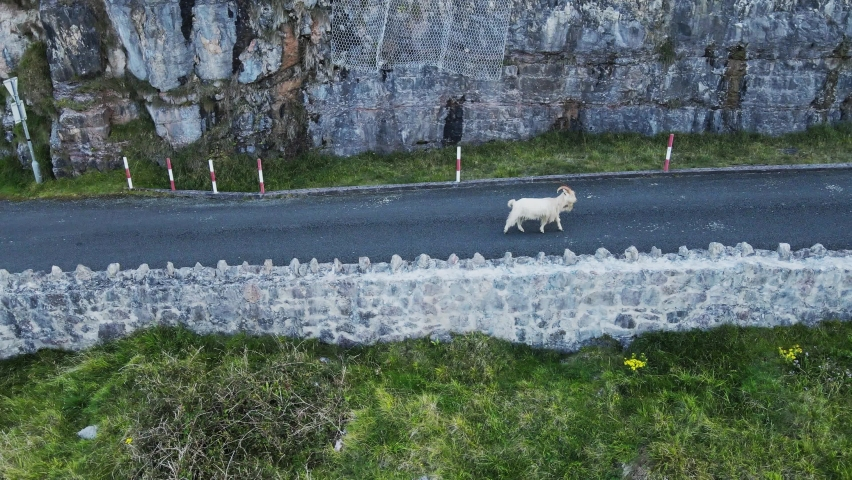 White alpine goats in the mountains with big long horns. Wildlife and wild animals. Goats among walking ina Mountain road in Wales
