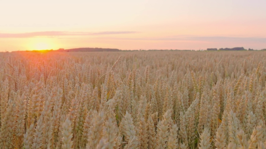 Ripe wheat swaying in the wind in the field, golden sunset background, panning | Shutterstock HD Video #1060048115