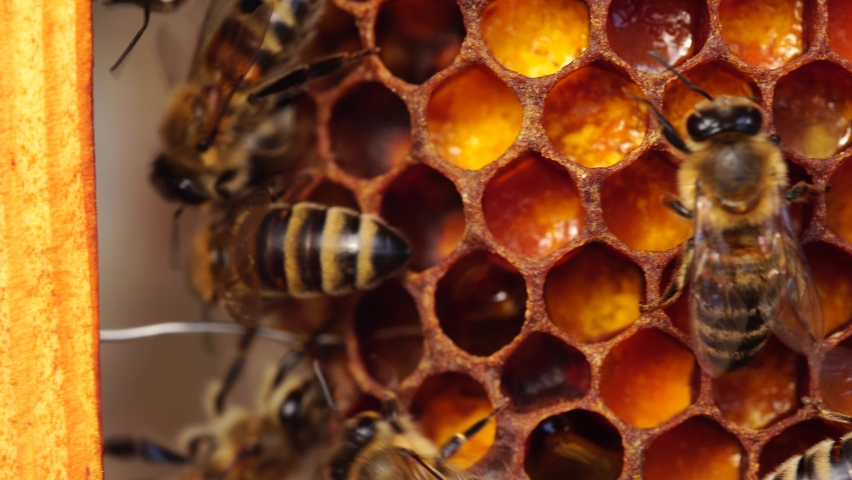 Bee bread: the bee pollen stored in the combs. Inside the Beehive - A honeycomb, wax cells with honey and pollen. A honey bee colony close up, beehive, beekeeping Royalty-Free Stock Footage #1060058003