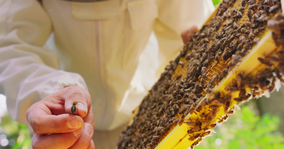 First plan focused: closeup beekeeper's hand and a bee on his finger, beehive frame with honeycombs and a lot of bees on it in another hand. Some bees in the air. Then he holds the frame with his Royalty-Free Stock Footage #1060064633