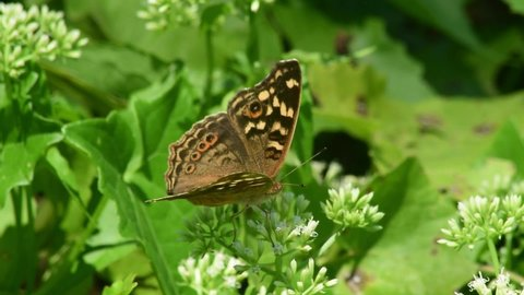 Beautiful brown butterflies look for flower nectar in the area on the edge of the rice fields where many wild plants are in bloom