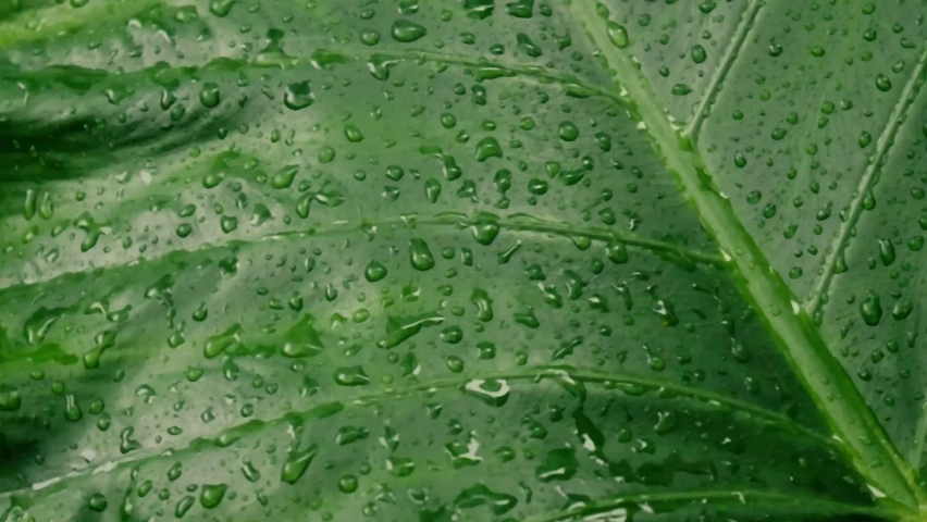 Rain falling on green plant leaf. Kachu pata or mammoth elephant ear bulb with water raindrops. Summer Rain Video Footage. Nature Rainy Season Background. Sound Effect. Selective Focus on foreground.