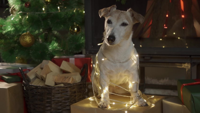 Dog sits wrapped in Christmas lights in front of a Christmas Tree.  | Shutterstock HD Video #1060079786