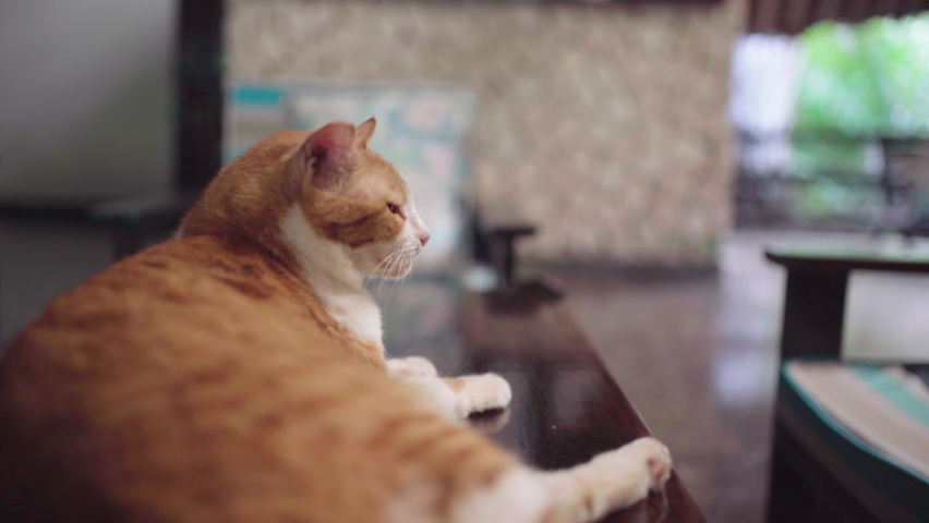 Very old male cat relaxing on hotel counter with red spotted fur. Fall colored / ginger tom cat of old age lying on hotel table in hotel Papillon Lagoon Reef at Diani Beach, Kenya, Africa. Royalty-Free Stock Footage #1060087571