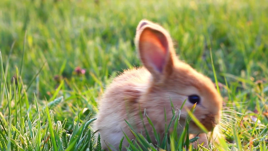 A small fluffy eared rabbit sits on a green meadow and eats young green grass close-up, in the evening, with bright warm sunlight. Easter Bunny