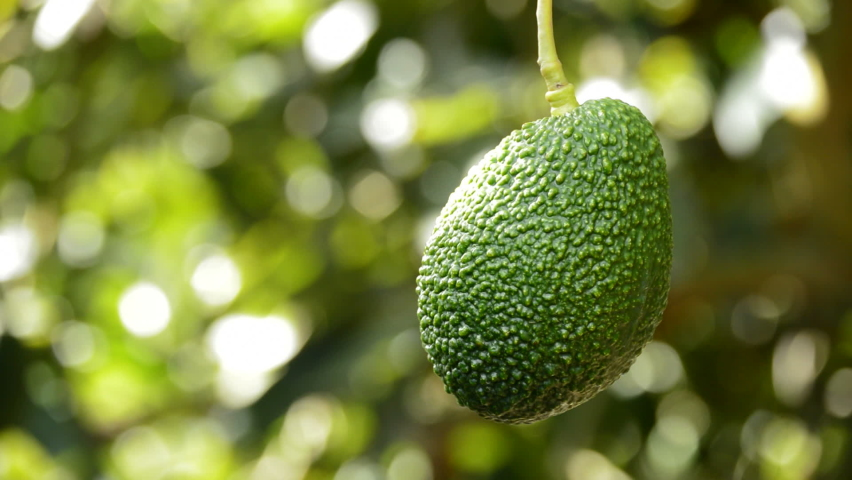 Hass avocado fruit hanging in a avocado tree Royalty-Free Stock Footage #1060167422