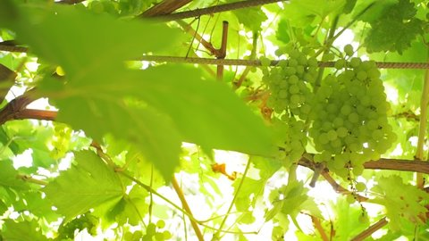 white grapes on a branch of a vineyard on a bright Sunny day. selective focus