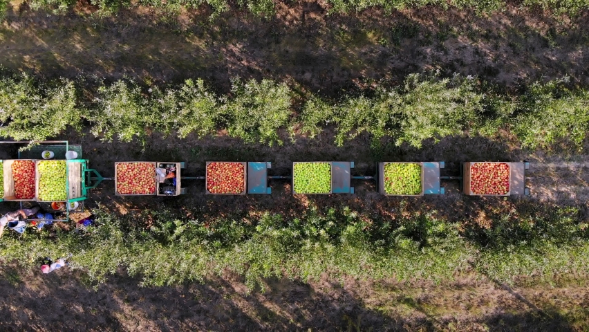 Apple crop. apple harvesting. aero, top view. farmers pick ripe apples from trees in orchard. tractor stands between apple tree rows and carries large wooden boxes with freshly picked apples. autumn