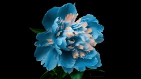 Beautiful blue Peony background. Blooming peony flower open, time lapse 4K UHD video timelapse. Easter, spring, valentine's day, holidays concept