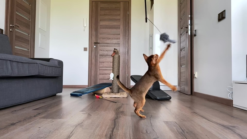 Cute Abyssinian cat playing indoors with different toys, jumping around. Cute sweet cheerful cat.