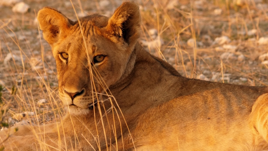Wild Lion in beautiful sunlight. Later on you see a Lion mother with a Baby. After drinking they flee from a rhinoceros. Royalty-Free Stock Footage #1060199648