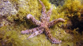 Starfish underwater on bottom of Atlantic ocean. Relax video about marine inhabitants of undersea world on seabed of La Palma Canary Islands. Macro video about sea star.