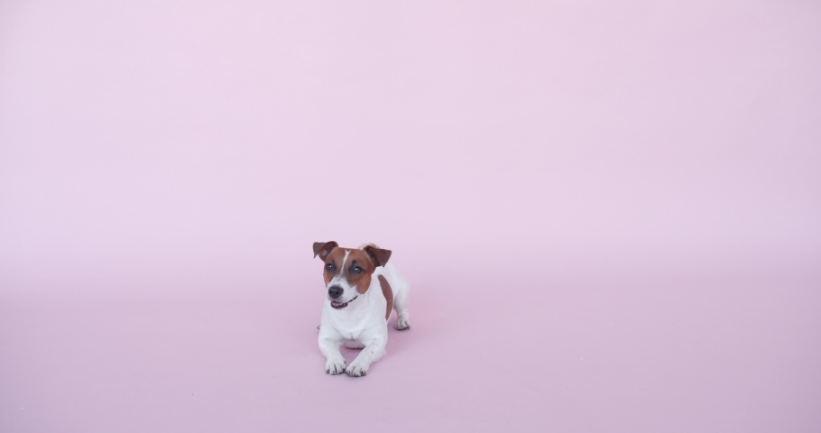 Puppy Dog Sitting in Pink background studio, Dog looking at the Camera, Beautifull footage of PUPPY Dog | Shutterstock HD Video #1060262096