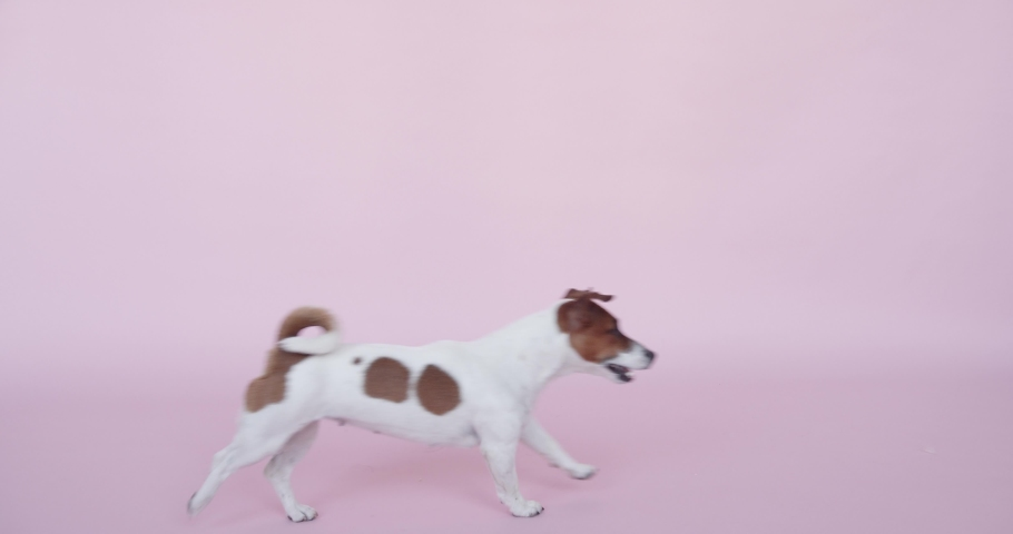 Puppy dog running in Pink background, Puppy dog playing in Pink background | Shutterstock HD Video #1060262594