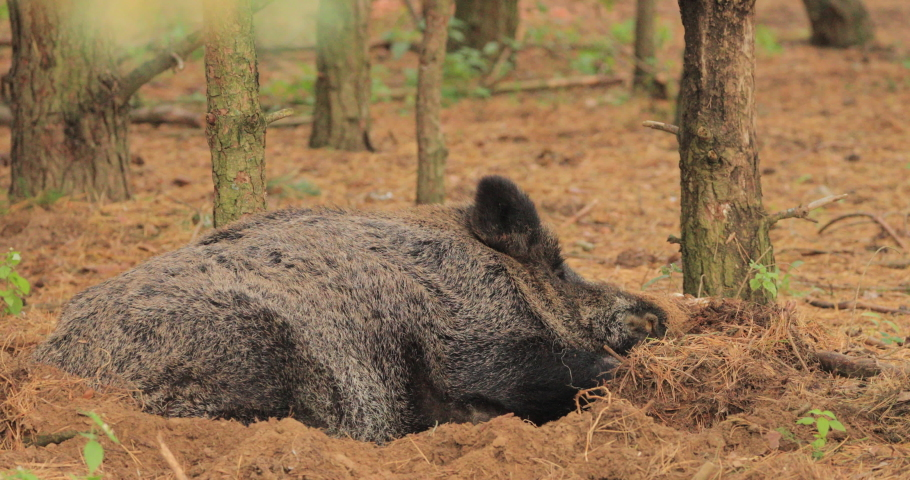 Multiple shots. Belarus. Wild Boar Or Sus Scrofa, Also Known As The Wild Swine, Eurasian Wild Pig Resting Sleeping In Autumn Forest. Wild Boar Is A Suid Native To Much Of Eurasia, North Africa.