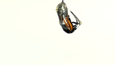 4K HD video Close up of one Monarch Butterfly just emerged from chrysalis hanging upside down from the chrysalis, wings still compact. Isolated on white. 2x normal speed.