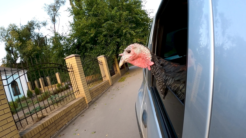 The turkey rides in the car for Thanksgiving.