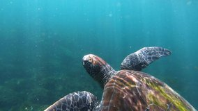 Underwater video of turtle taking a breath at the surface