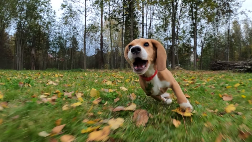 Active and playful Beagle puppy run fast, hurry after moving camera, slow motion shot. Funny young dog with long flying ears enjoy outdoor games at green grassy backyard Royalty-Free Stock Footage #1060334108
