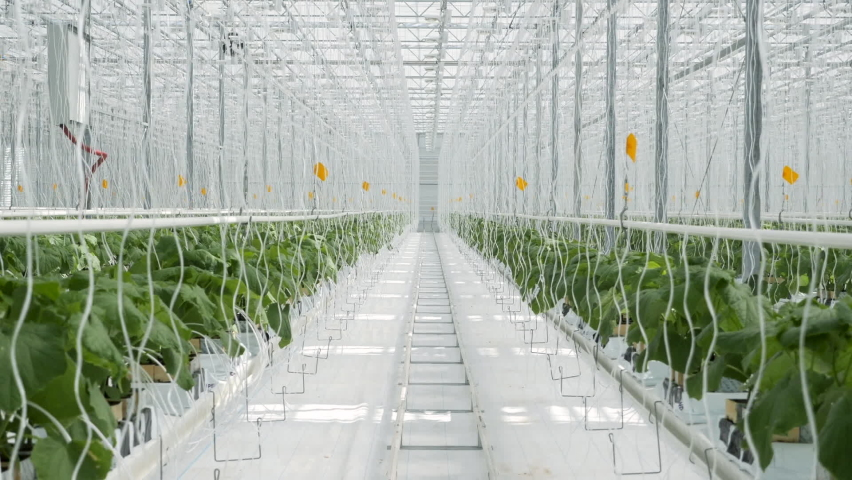 White Big Greenhouse with Vegetable. Rows of Plant Cultivated Inside a Large Greenhouse Building. Growing and Collect Goods for Commerce Sale. Cultivate and Selection Vegetables in Glasshouse Farmland Royalty-Free Stock Footage #1060336124