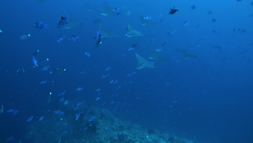 School of Spotted Eagle Ray fish - Aetobatus narinari swims in the blue deeps of the  Indian Ocean, Maldives  Royalty-Free Stock Footage #1060350170