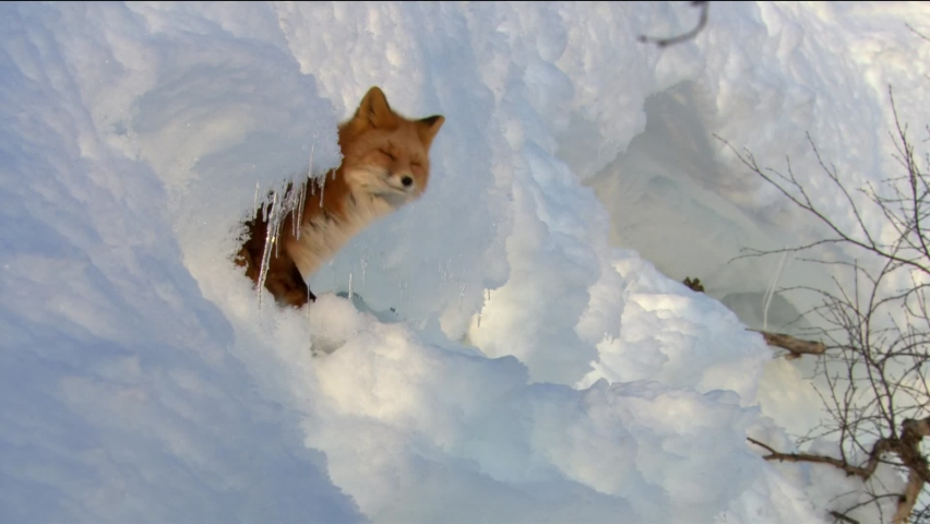 Fox on the snow. Fox, common or red fox (Vulpes vulpes) is a predatory mammal of the dog family. Red fox is a very common character of folklore of different countries Royalty-Free Stock Footage #1060368089