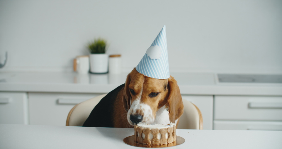 A happy beagle dog in a festive hat sits at the table and eats his delicious cake. Dog holiday birthday. High quality 4k footage Royalty-Free Stock Footage #1060390013