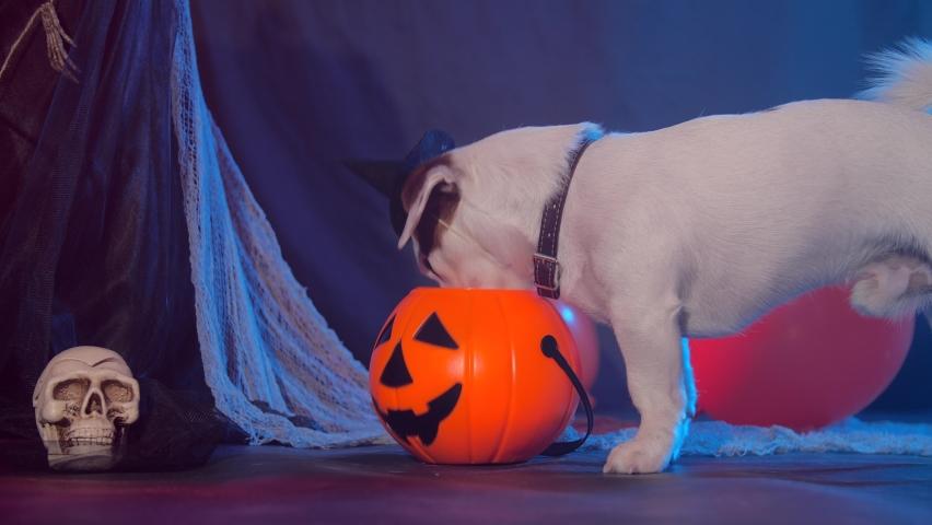 Halloween celebration concept. Funny dog eating from halloween pumpkin   Shutterstock HD Video #1060391936