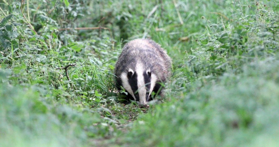 The European badger, also known as the Eurasian badger, is a badger species in the family Mustelidae native to almost all of Europe.