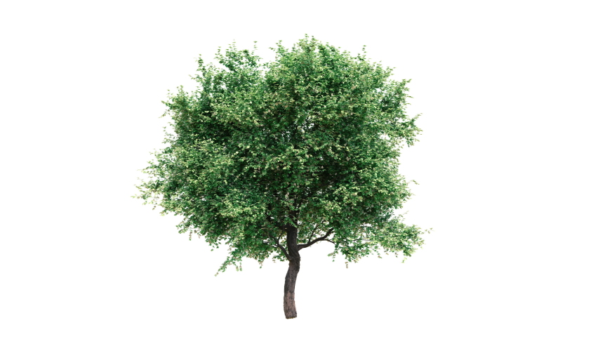 Growing tree on white background (with alpha matte, cg animation)  Royalty-Free Stock Footage #1060403198