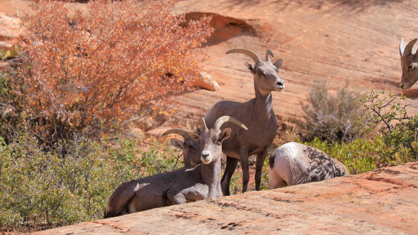Wild Bighorn Sheep in Zion National Park Royalty-Free Stock Footage #1060429306