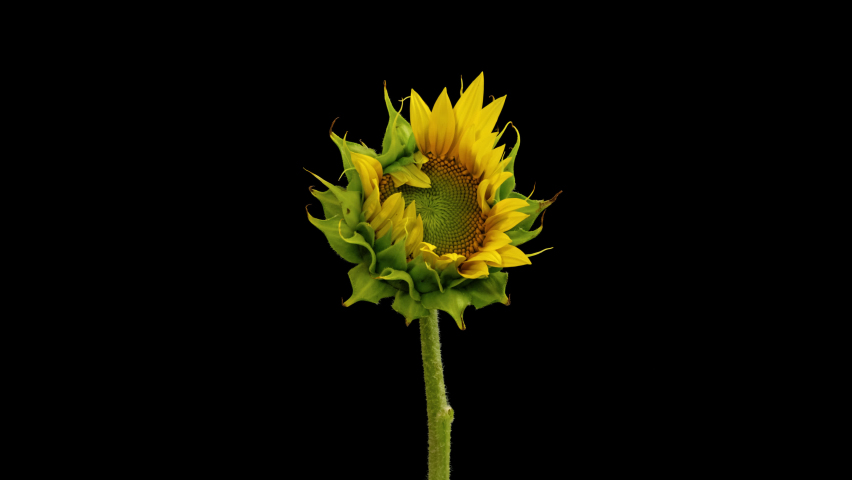 Macro time lapse opening Sunflower Head, isolated on pure black background Royalty-Free Stock Footage #1060484995