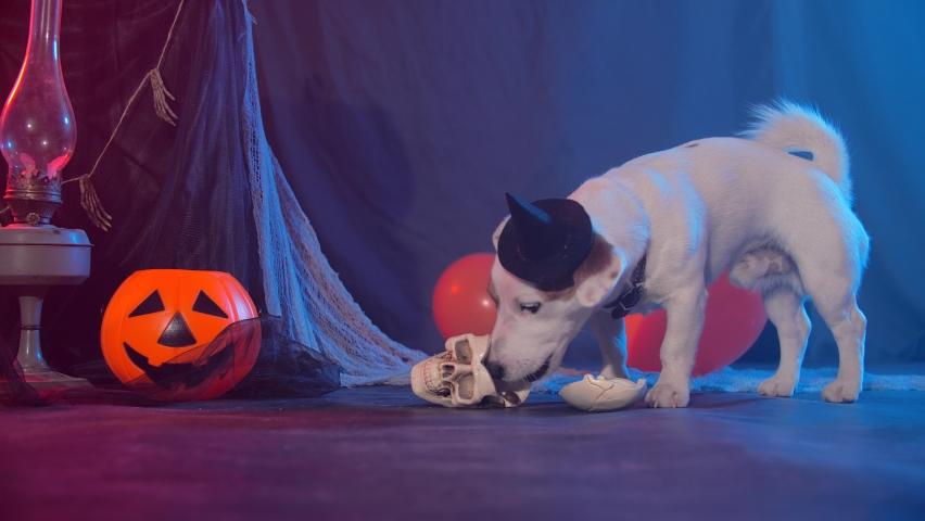 Halloween celebration concept. Funny dog eating from fake halloween skulls   Shutterstock HD Video #1060494652