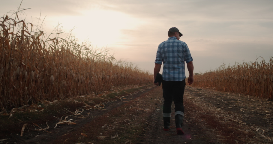 Back view: A male farmer walks along the road along the fields of corn, in his hand carries a tablet Royalty-Free Stock Footage #1060494826
