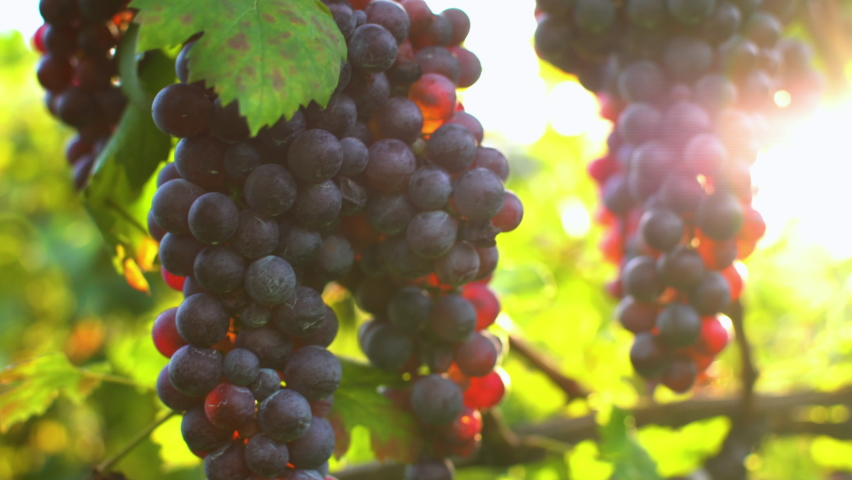 Close up of a branch of ripe red grapes.Grapes vineyard sunset.Italy. Wine grapes harvest.Vitamins.Travel Italy. Royalty-Free Stock Footage #1060499371